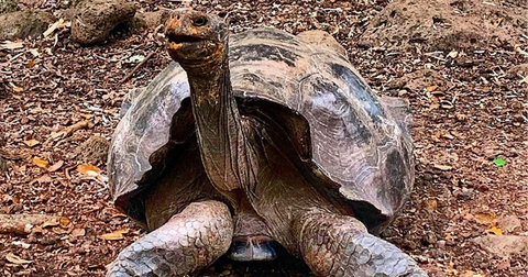 diego-tortoise-galapagos-1592334978627.png
