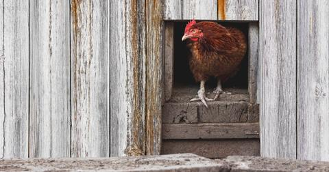 How To Build Your Own Cheap Chicken Coop