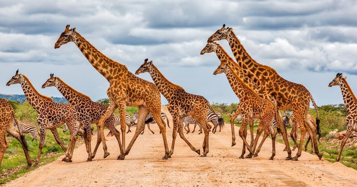 masai-giraffe-extinction-1563306007202.jpg