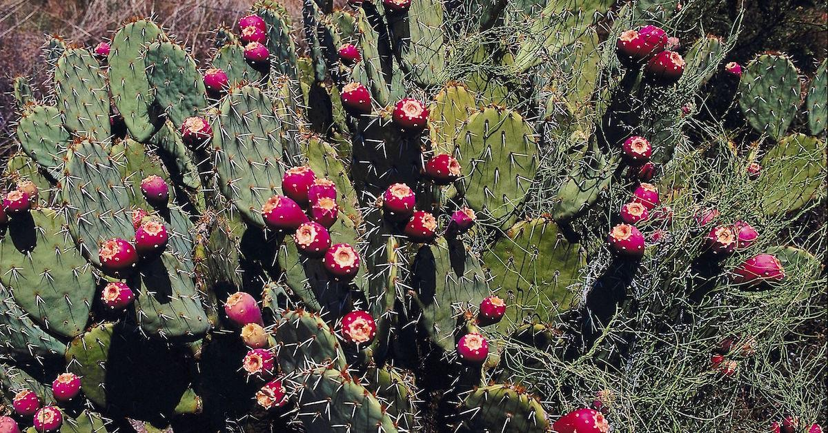 What happens when you eat cactus?
