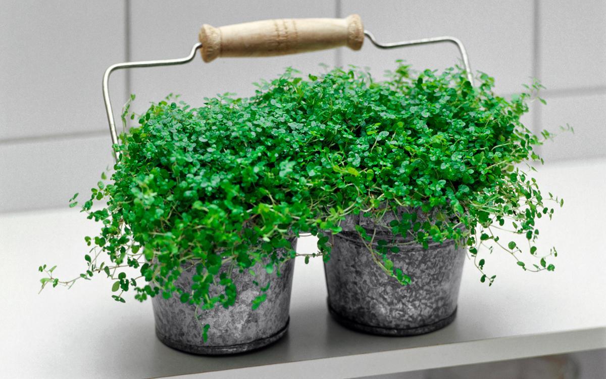 babys-tears-indoor-hanging-plants-1580934670068.jpg