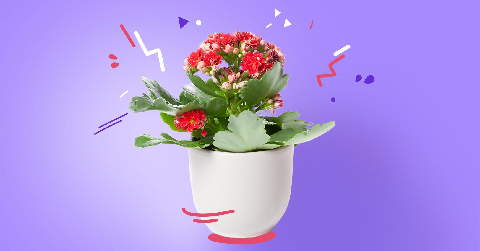 GM-PlantPersonalities-Kalanchoe--1529521736407.jpg