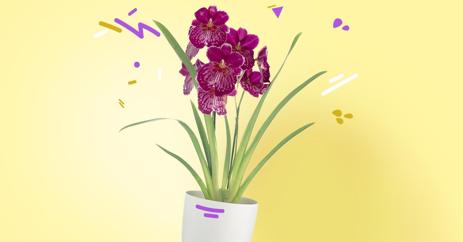 GM-PlantPersonalities-MiltoniaOrchid--1529521787536.jpg