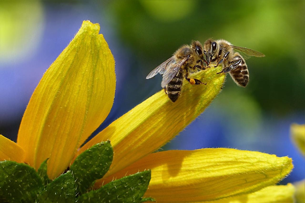 bee-honey-bee-apis-insect-144252-1533069469843-1533069472098.jpeg