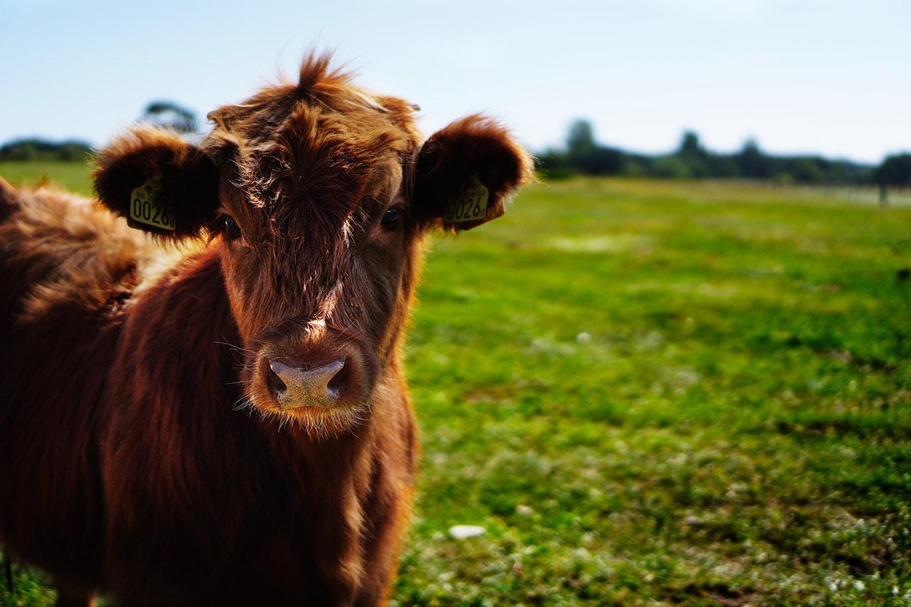 bull calf heifer ko