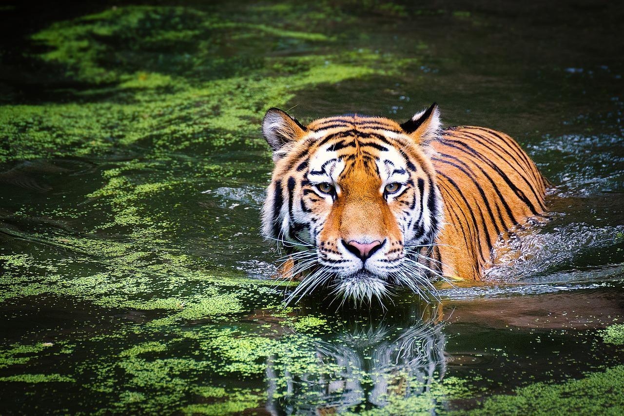 tiger-2535888_1280-1538604175777-1538604178204.jpg
