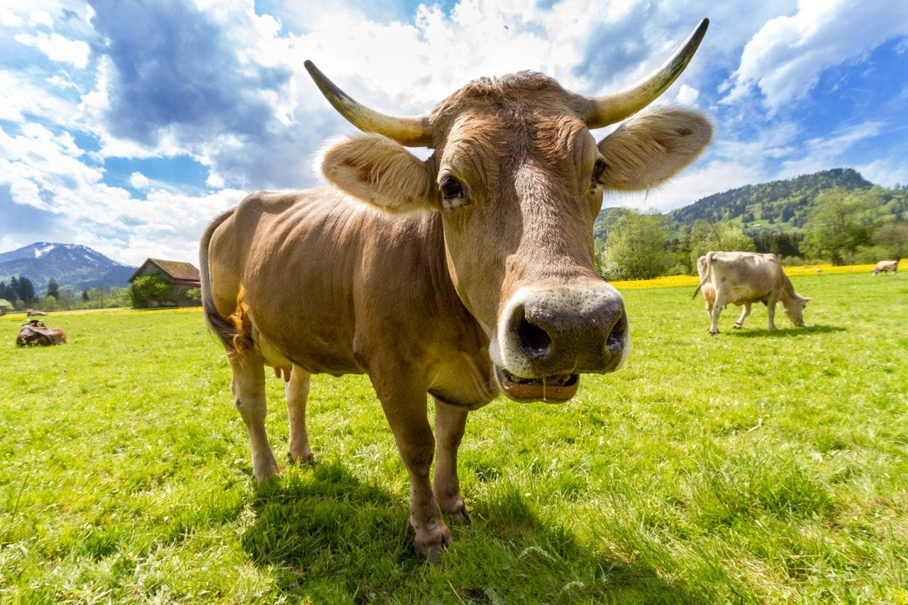 cow-pasture-animal-almabtrieb-1502121212192.jpg