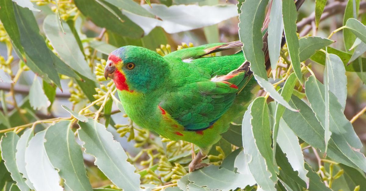 swift-parrot-1542302981979-1542302983989.jpg
