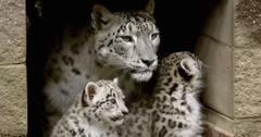 Himani Snow Leopard