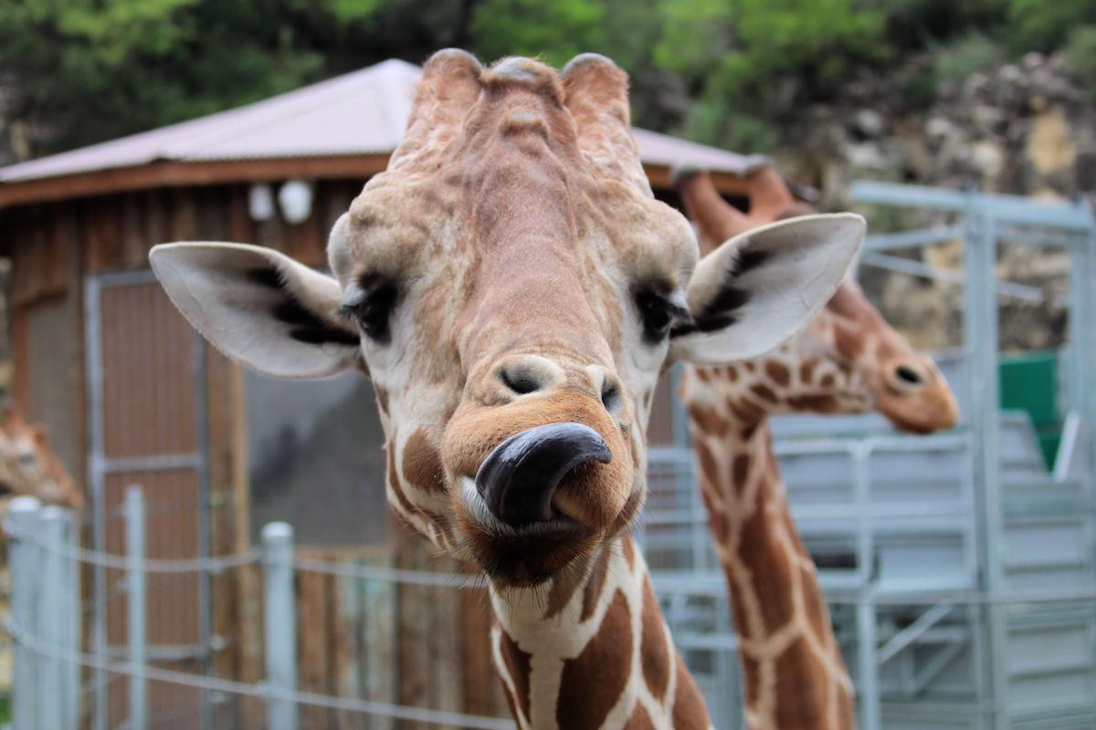 Giraffe12-1531764501608-1531764503700.jpg