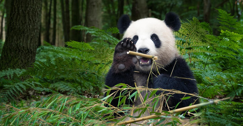 Panda-1532978023643-1532978025700.jpg