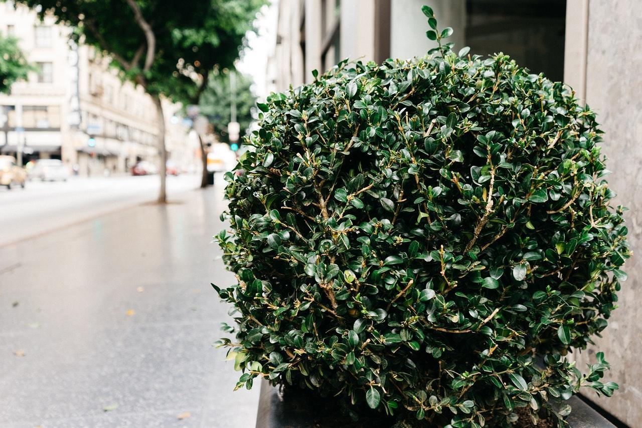 bush-shrub-sidewalk-1515090465430.jpg