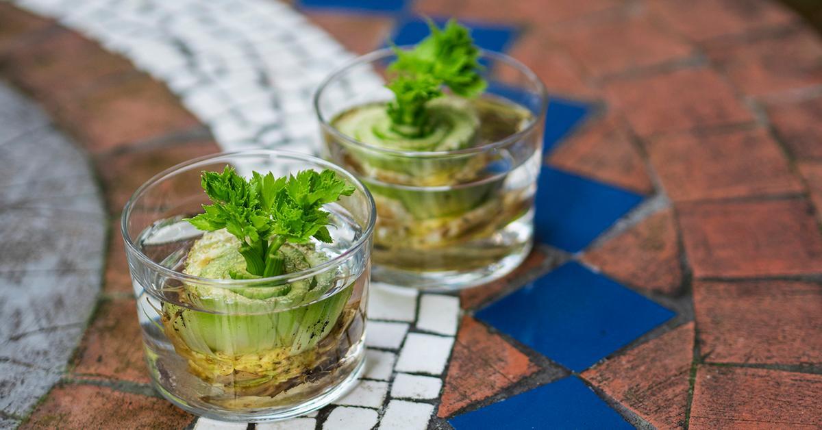 regrow-celery-how-to-1548436758747.jpg