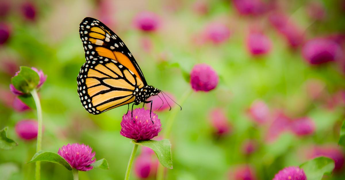 Which Plants Attract Butterflies? Support Pollinators With a Butterfly Garden on Your Lawn