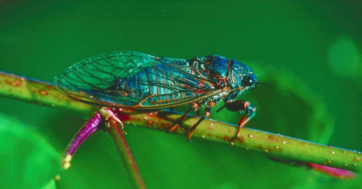 When will cicadas go away?
