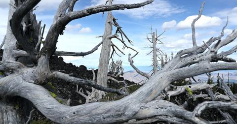 whitebark-pine-tree-esa-1607018048345.jpg