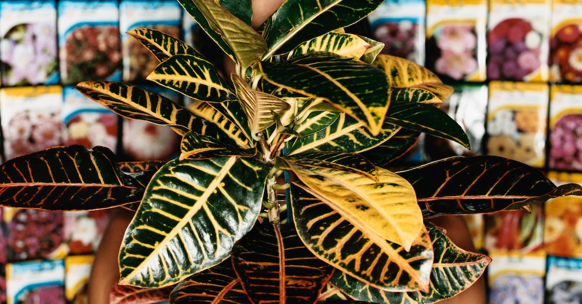 Why your rubber plant is dropping leaves