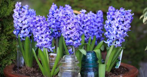 hyacinth-toxic-dogs-1572551863205.jpg