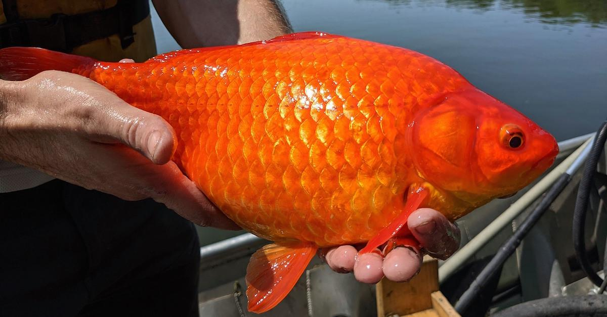 Wild Goldfish