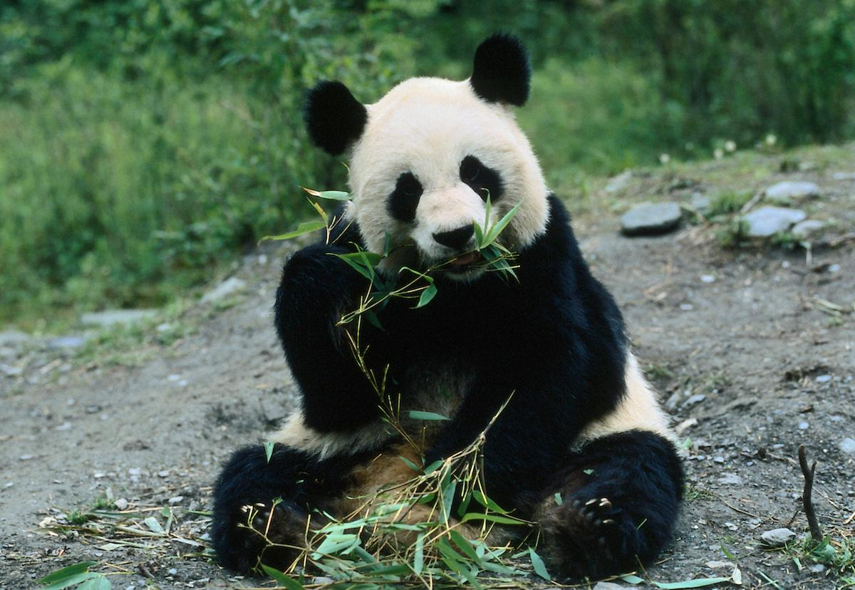National Panda Day: How to celebrate these amazing animals