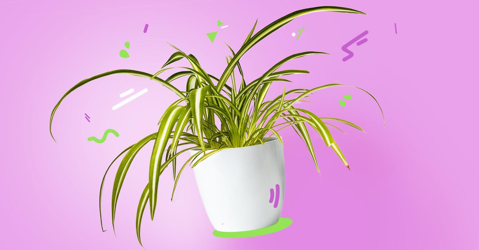 GM-PlantPersonalities-SpiderPlant--1529521759465.jpg