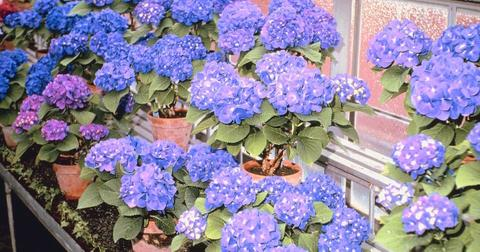 Can you change the color of hydrangeas with coffee?