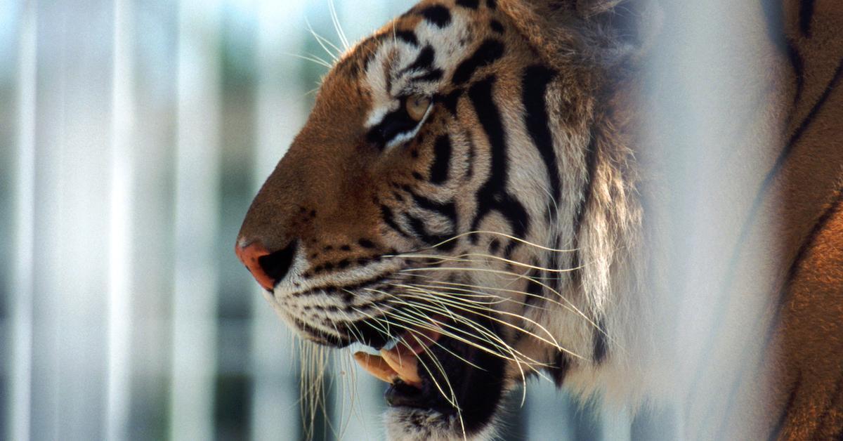 tiger cage 1620396082970.
