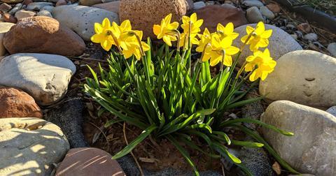 daffodils-toxic-dogs-1572551811932.jpg