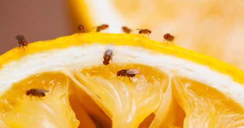how-to-get-rid-of-fruit-flies-1597172678931.jpg