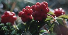 Is elderberry good for your immune system?