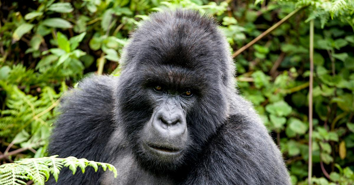 mountain-gorilla-extinction-1545068372149.jpg