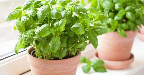 basil-plant-1560372707756.jpg