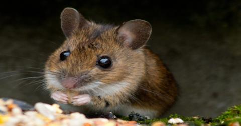 how-to-get-rid-of-mice-naturally2-1603737501192.jpg