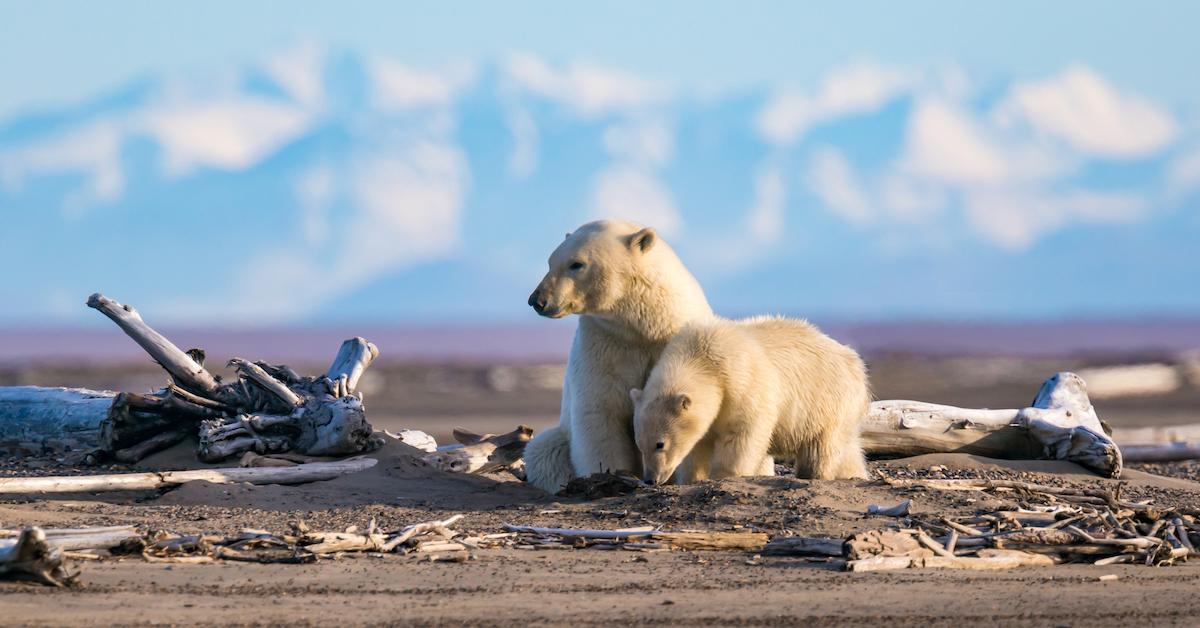 conservation polar bear