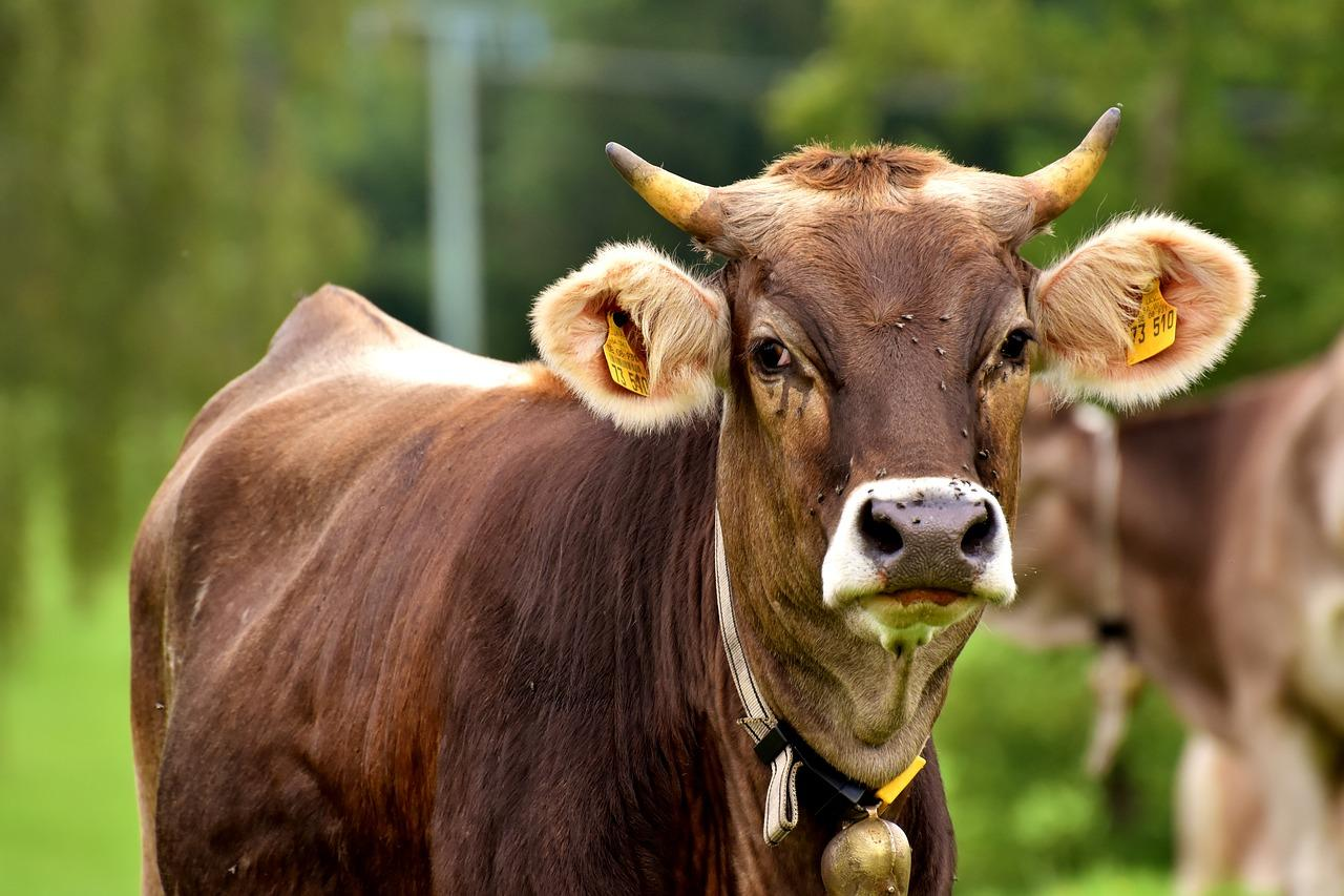 beef-2294040_1280-1504120575800-1504120583323.jpg