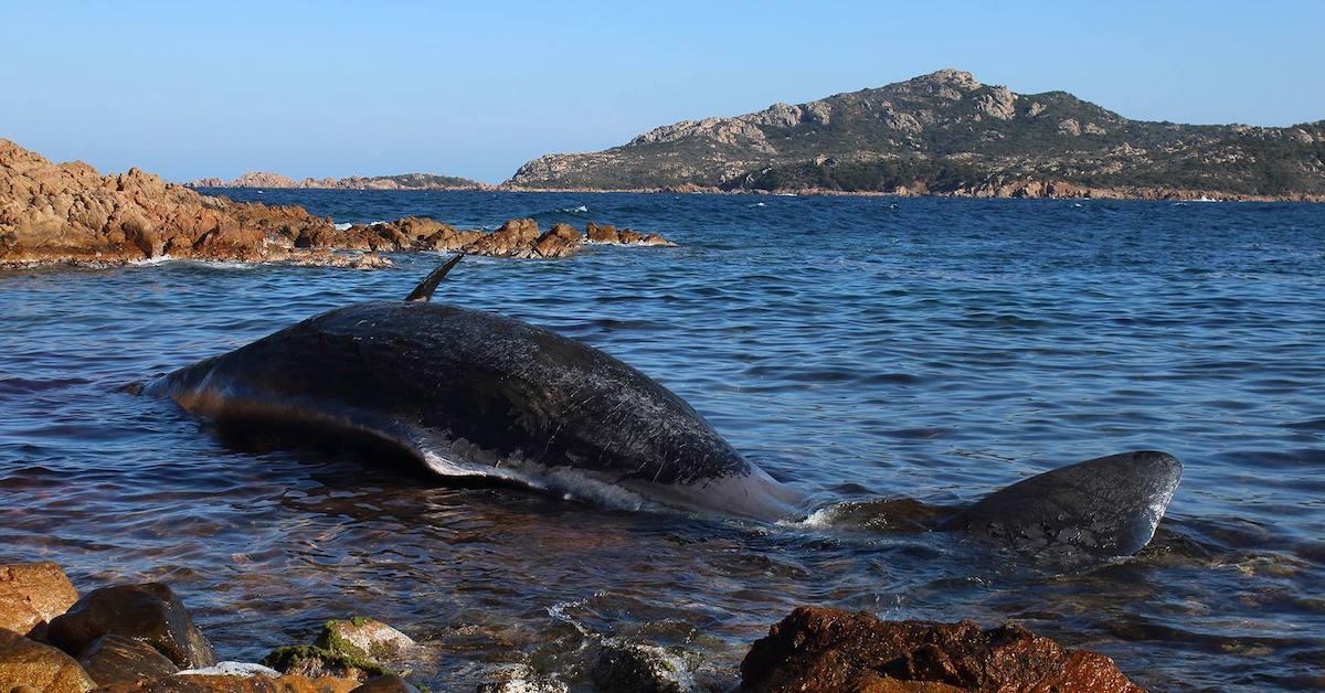 seame-sardinia-whale-beached-1554150239936.jpg