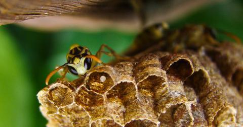 如何自然消灭黄蜂