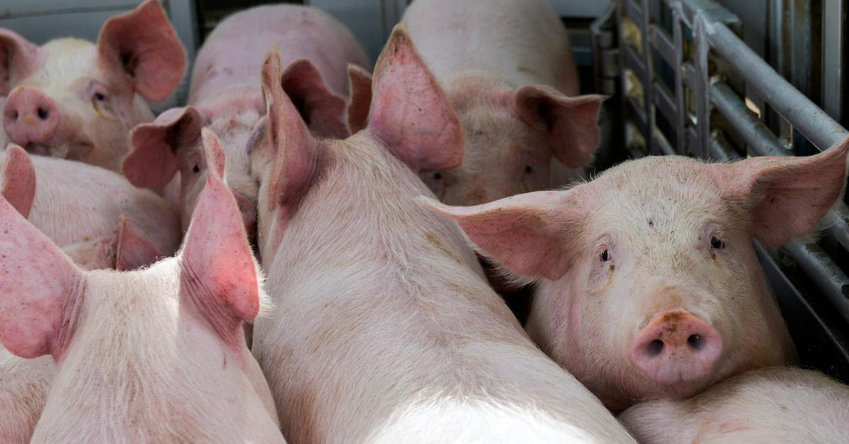 pigs truck