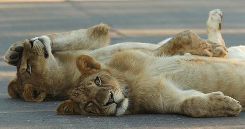 kruger-lions-road-1587141892471.jpg