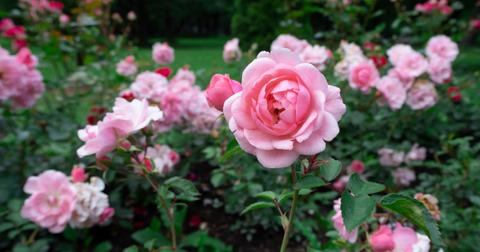 how-to-make-rose-water1-1606310286727.jpg