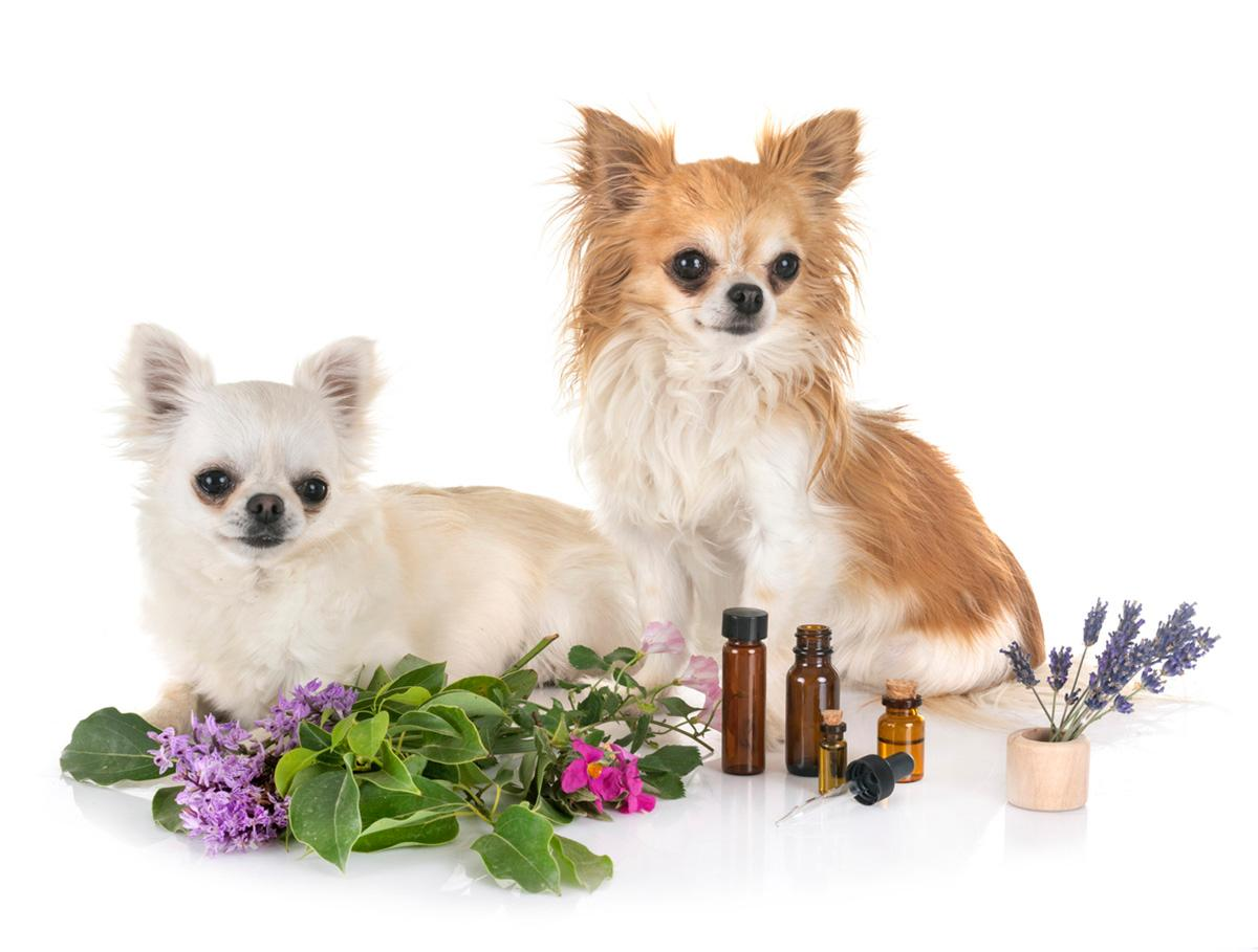 dog-essential-oil-flea-treatment-1565025559830.jpg