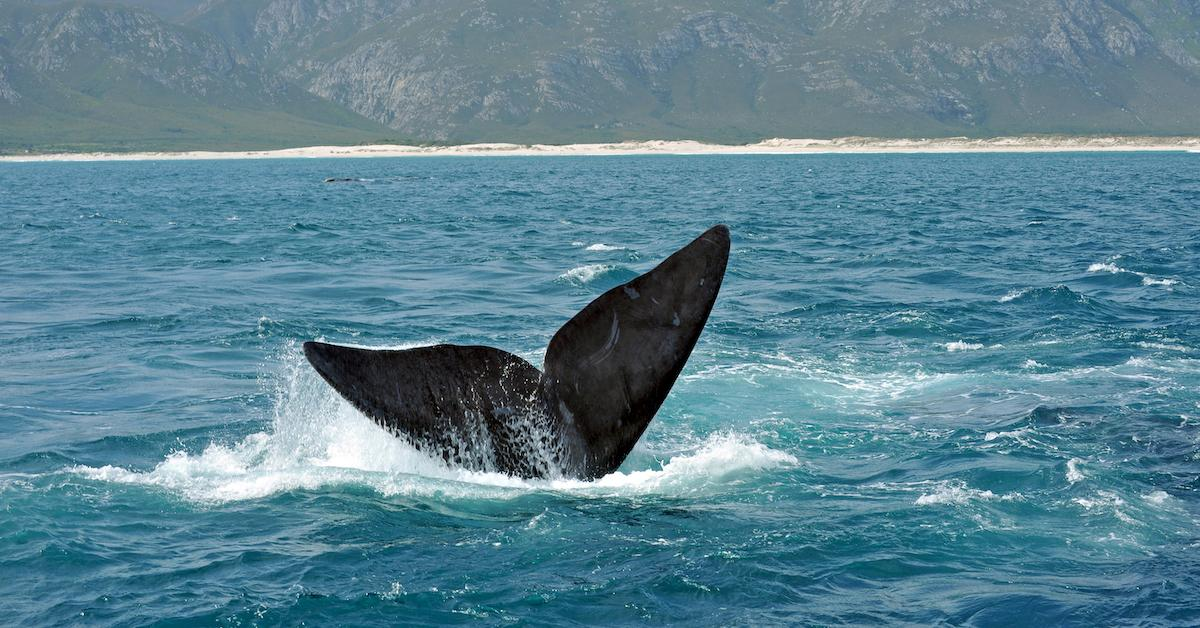 right-whale-decline-1559077396056.jpg