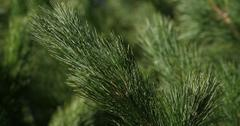 What to do with pine needles