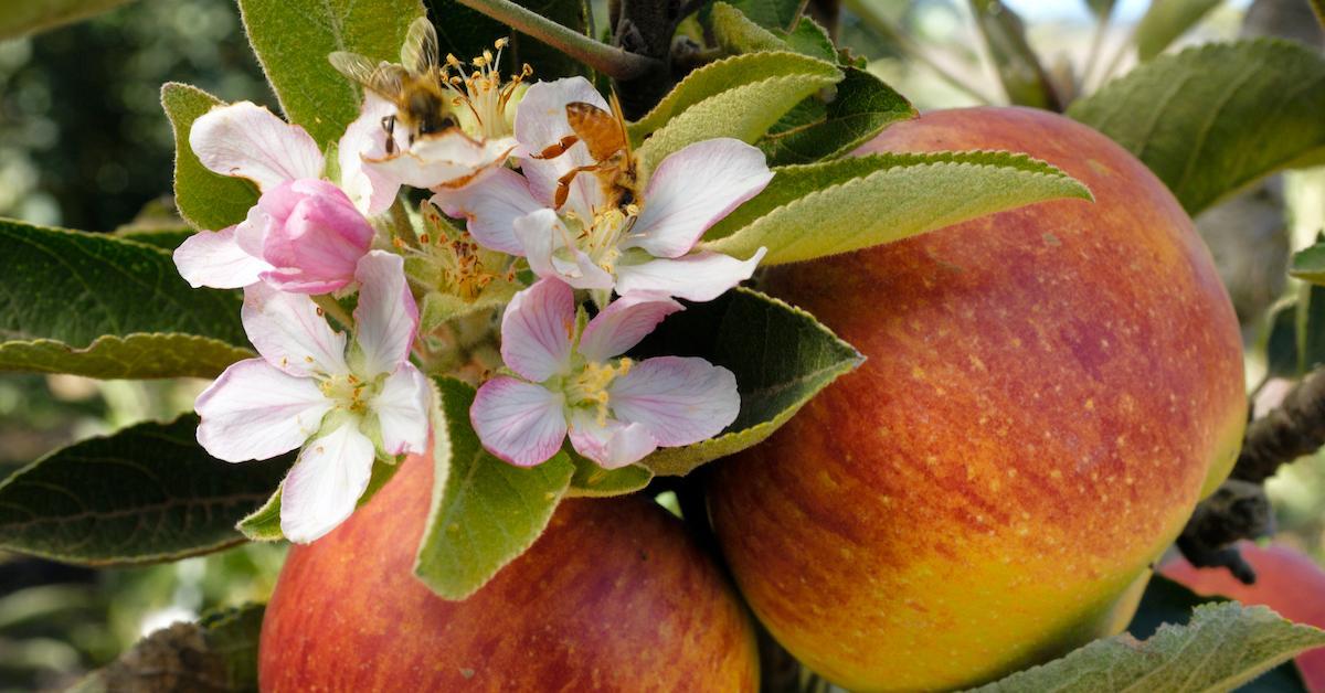 bee-population-apple-1596040047445.jpg