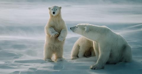 polarbearthumb-1594219455729.jpg