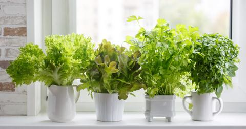 fresh-aromatic-culinary-herbs-in-white-pots-on-windowsill-lettuce-picture-id1064116816-1603306198607.jpg