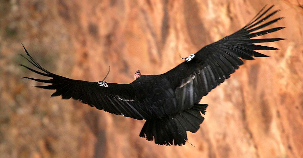 California Condor Population Rising