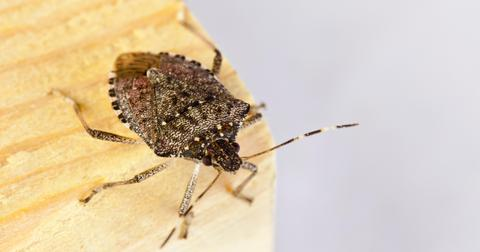 stink-bug-extermination-1602171796283.jpg