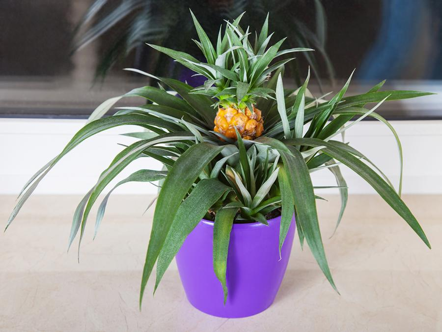 pineapple-plant-1548436824551.jpg