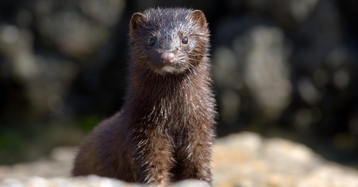 mink-fur-farm-banned-1547050014707.jpg
